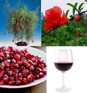 Granatapfel-Baum-exotische-grosse-Pflanzen-fuer-drinnen-Exot-essbare-Zimmerpflanze
