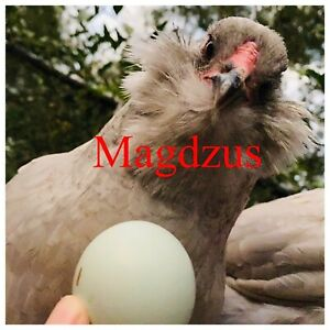 Americauna Chicken Eggs 6 Rare Exotic Lavender Ameraucana Chicken Hatching Eggs Ebay usd