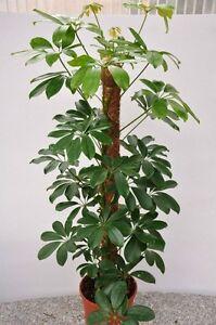 Dwarf Umbrella Tree Seeds Tropical Indoor Outdoor Plant