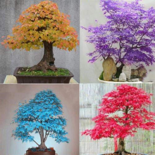 30pcs acero giapponese albero bonsai semi acer palmatum giardino balcone piantaW