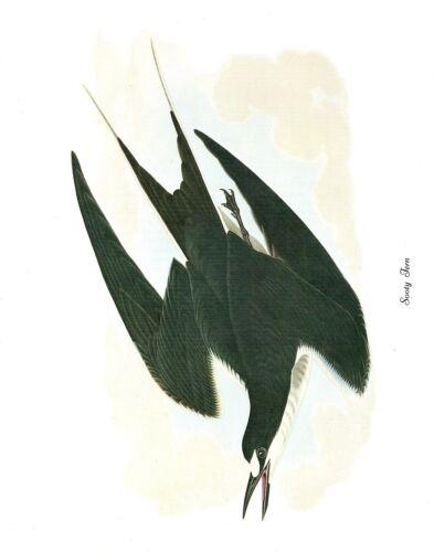 "1978 Vintage AUDUBON BIRDS /""SOOTY TERN/"" GORGEOUS Color JUMBO Lithograph"