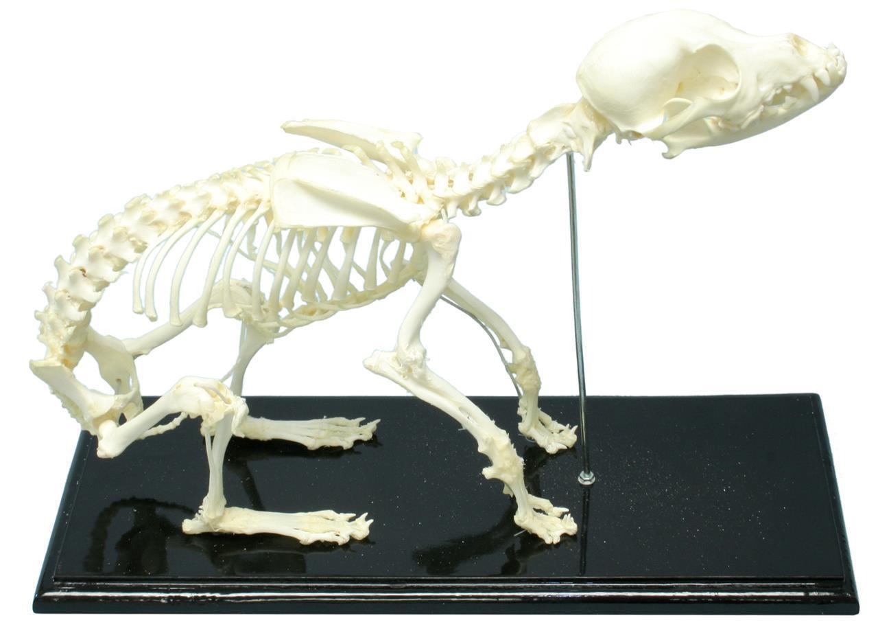 Dog Skeleton Articulated Specimen Wood Base Display Acrylic Cover Educational