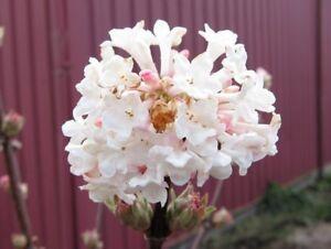 Viburnum charles lamont fragrant pink autumn winter spring flowers image is loading viburnum charles lamont fragrant pink autumn winter spring mightylinksfo