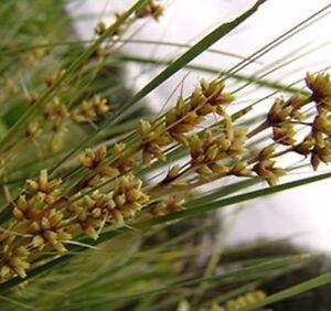 SHARA-Lomandra-fluviatilis-ABU7-native-slight-blue-grey-grass-plant-in-120mm-pot