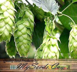 BULK-HOPS-Humulus-lupulus-Seeds-Brew-Your-OWN-BEER-TODAY-COMES-BACK-EVERY-YEAR