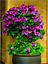100-Pcs-Climbing-Geranium-Seeds-Pelargonium-Plant-Bonsai-Perennial-Flower-Garden thumbnail 17