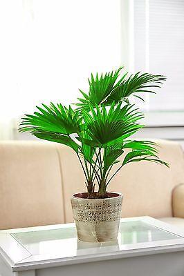 die Schirmpalme hat große grüne Palmblätter; wirkt sehr dekorativ in jedem Raum