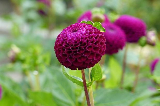 1 Dahlia 'Rocco' tuber bulb PRE-ORDER and receive another tuber free
