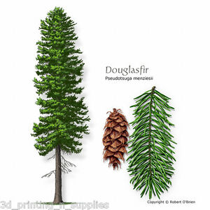 blue douglas fir christmas tree
