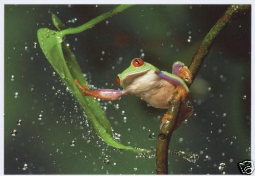 Ansichtskarte Rotaugenbaumfrosch im Regen