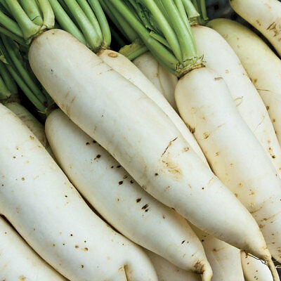 Original Package 100 White Radish Seeds Raphanus Sativus Daikon Vegetable C038