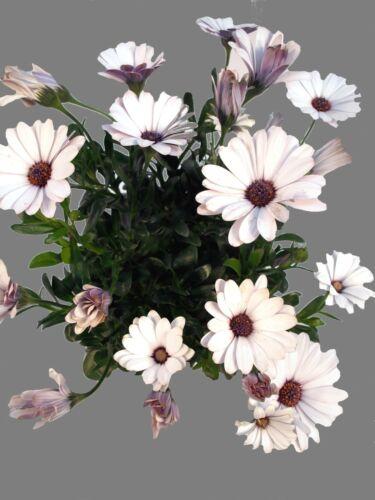 """Kapkörbchen /""""Caprivi Ivory/"""" weiß Tolle Blütenfarben"""