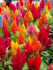 DWARF PLUMED COCKSCOMB GLITTERS MIX 200 SEEDS Celosia plumosa nana #1246