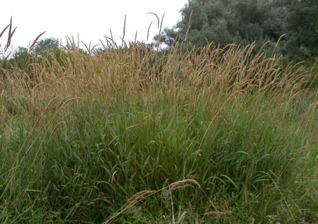 10000+ Samen Rohrglanzgras (Phalaris arundinacea), Havelmielitz
