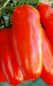 pomodoro SAN MARZANO GIGANTE 100 semi OMAGGIO