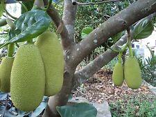 "World Largest Tree Fruit-Sri Lankan ""18 months"" Jackfruit Fresh 5 Finest seeds."