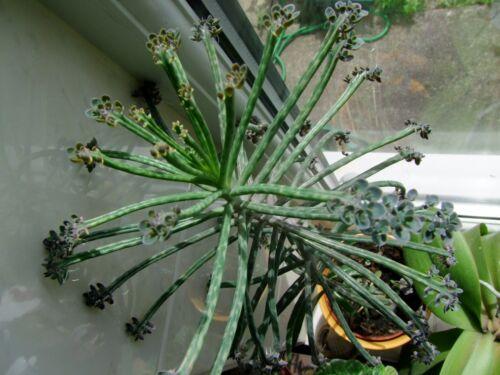 Madre de millones planta suculenta Kalanchoe tubiflora 20 Raro plántulas