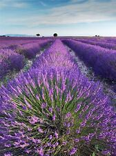 LAVENDER FIELD PROVENCE FRANCE MORNING FLOWERS PHOTO ART PRINT POSTER BMP458A