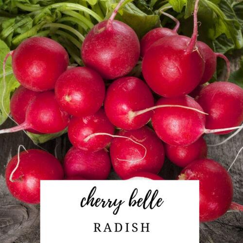 200 Seeds Radish Cherry Belle Rapahnus sativus