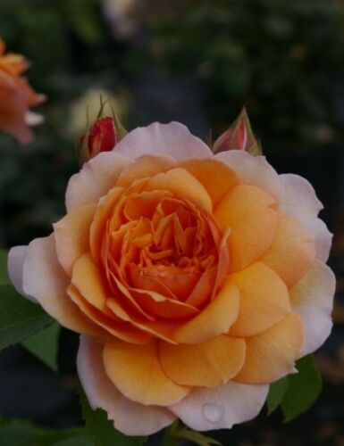 Duf Auskeppy® Rosa Grace syn Englische Rose Grace® syn Auskeppy® apricot