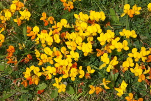 Native Wildflower Bird/'s Foot Trefoil Lotus corniculatus plant in 7cm Pot