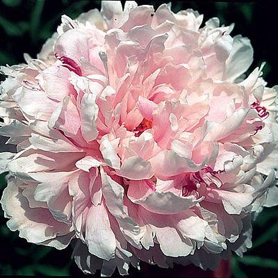 Peony Sarah Bernhardt Pink Double Flowers Hardy Perennial Fragrant Garden Plant