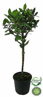 Lorbeer Pflanze, gewürzlorbeer, Laurus nobilis, 90-100cm Stamm inkl. Topf