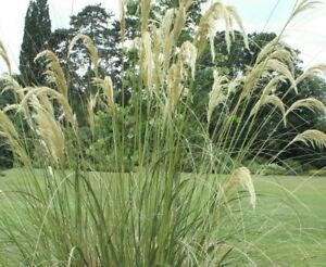50-Samen-Austroderia-richardii-syn-Cortaderia-richardii-Pampasgras