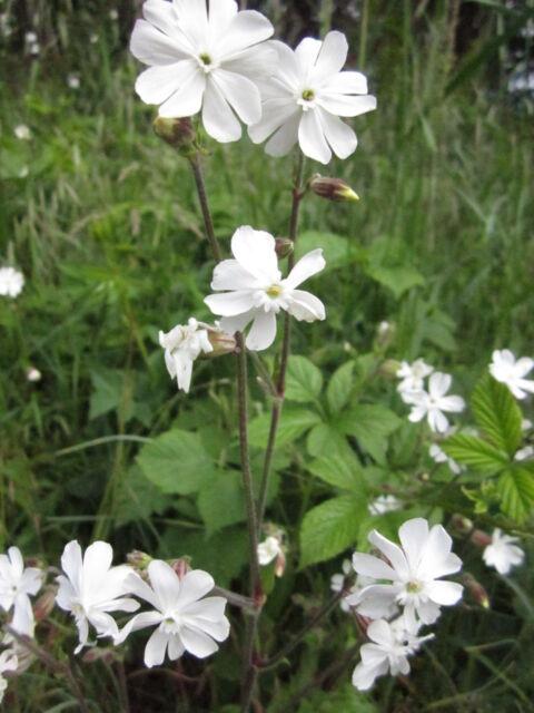Silene alba (S. pratensis) Weiße Lichtnelke über 50 Samen Wildstauden