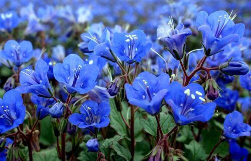1//2 oz Bluebell Seeds Non-Gmo Bulk Seeds About 9,000 California Bluebells