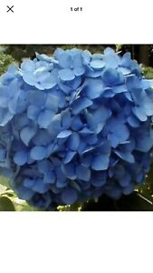 Nikko Blue Hydrangea Live Root Hardy Zone 4 To 9 Shipping March