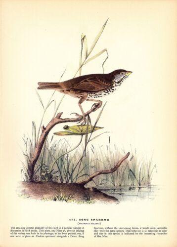 """1937 Vintage AUDUBON BIRD #477 /""""SONG SPARROW/"""" Color Art Print Plate Lithograph"""