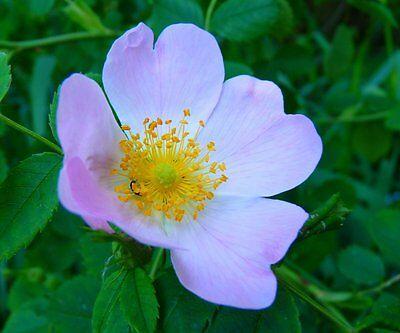 echte Hagebutte Rosa Canina C Gehalt, Hundsrose Samen hoher Vit