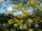 Cornus mas CORNELIAN CHERRY DOGWOOD TREE Seeds!