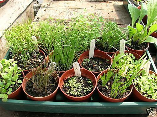 Légumes-Piment 10 graines Piment - Tepin