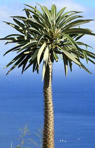 Exot-Pflanzen-Samen-exotische-Saatgut-Zimmerpflanze-Zimmerpalme-MADAGASKAR-PALME