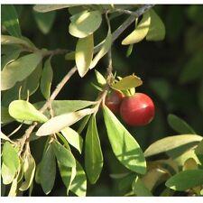 Diospyros Lycioides - Bluebush, Monkey Plum- Rare Tropical Plant Tree Seeds (5)