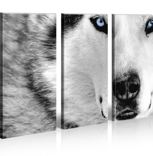 Bild auf Leinwand Wolf Husky Hunde XXL Poster Leinwandbild Wandbild