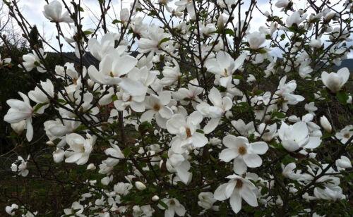 10 Magnolia Tree Flower Seeds Alcimandra Rare 15 Kinds Decorative Garden Plants