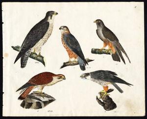Rare-Antique-Bird-Print-PEREGRINE-FALCON-MERLIN-HOBBY-COMMON-KESTREL-Strack-1819