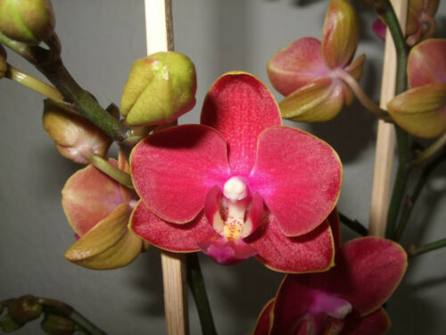 Phalaenopsis Schmetterlingsorchidee  Multiflora 122 5072 1-71159