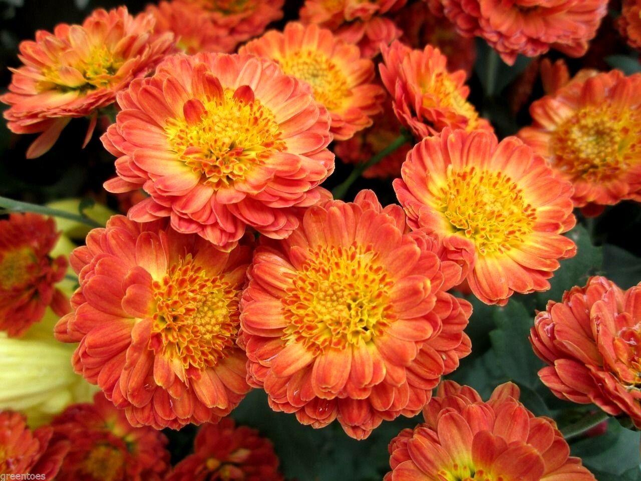 Hardy Chrysanthemum Garden Mums Indicum Mix Large Variety Perennial