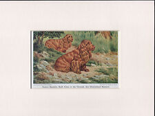 SUSSEX SPANIEL 1950'S READY MOUNTED DOG ART PRINT by WALTER A WEBER