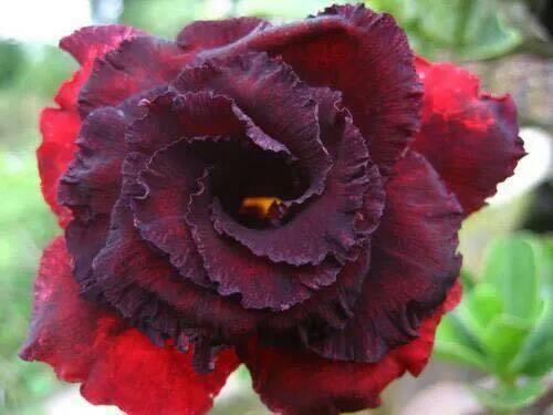 """ADENIUM OBESUM DESERT ROSE /""""UMMATA/"""" X 2 PLANT GRAFTED FRESH"""