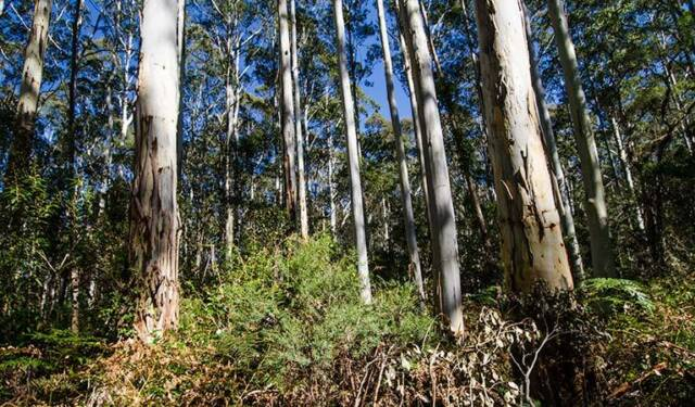 BLUE LEAVED STRINGYBARK (Eucalyptus Agglomerata) Seeds