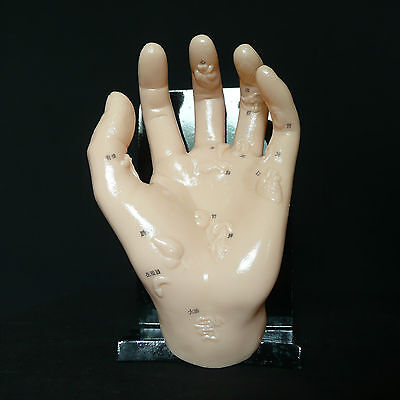 Anatomical Human Hand Model Illustrating Organs - Acupuncture Medical Anatomy