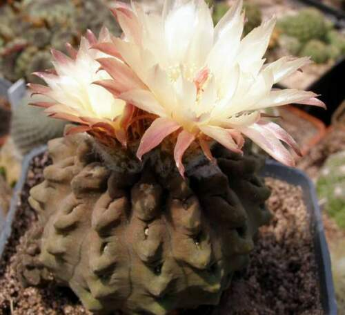 Neoporteria occulta,seeds10 pcs