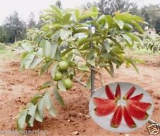 "Guava "" Arka Kiran "" Hybrid Variety dwarf Red Flesh Guava -Tasty Fruit 50 seeds"