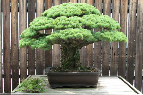 Bonsai Seeds Japanese White Spruce Pine Pinus Parviflora Tree Bonsai Evergreen For Sale Online Ebay