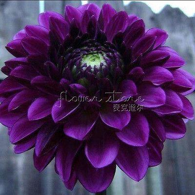 100 Boogie Nights Dahlia Flower  seeds~beautiful gardens